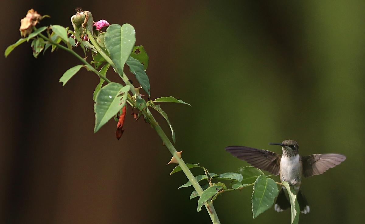Flight of thehummingbirds